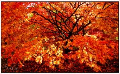 Autumn-Gold-small