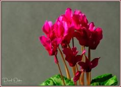 Garden-Cyclamen
