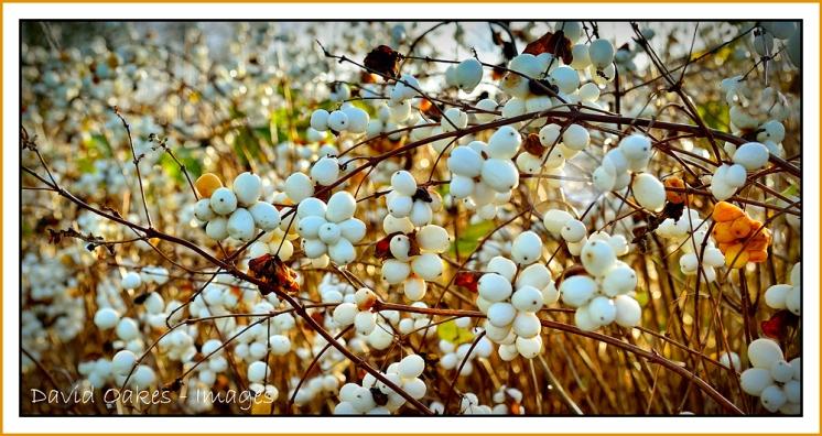 Garden Snowballs