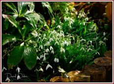 Gardening Snowdrops