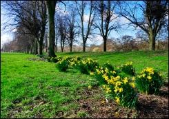 Daffs-at-Chester-Green
