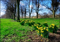 Daffs-at-Chester-Green