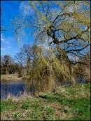 Derwent-Willow