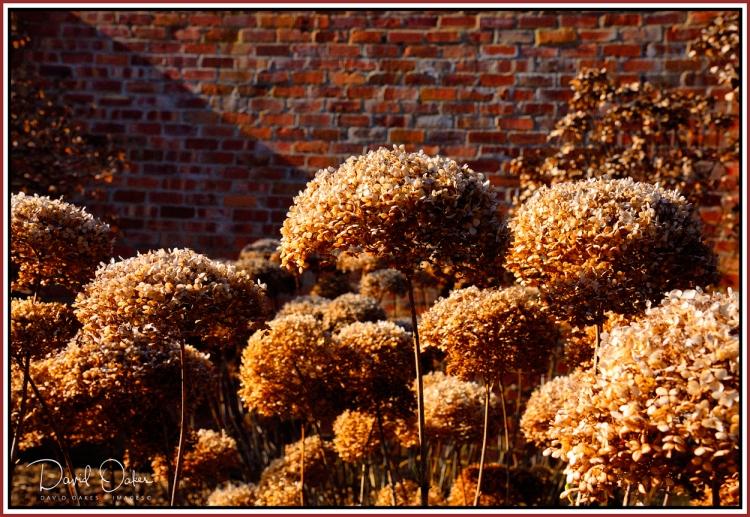 Dried-Hydrangea-Heads