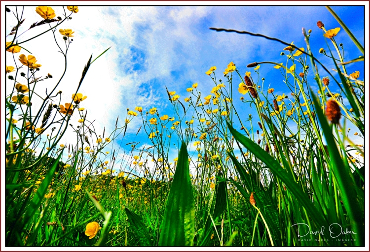 Buttercups-May-1