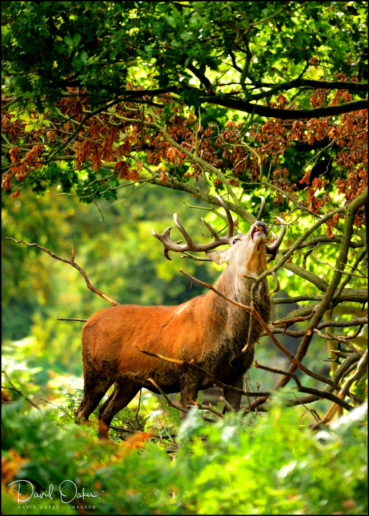 Red-Stag-Grazing