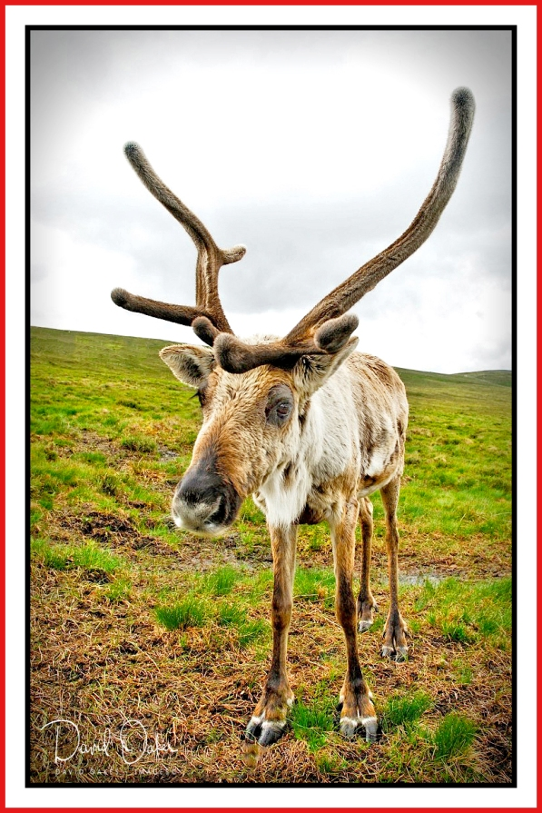 47 Reindeer on Airgiod-Meall, Cairngorms, Scotland 001_renamed_22355 bbtt