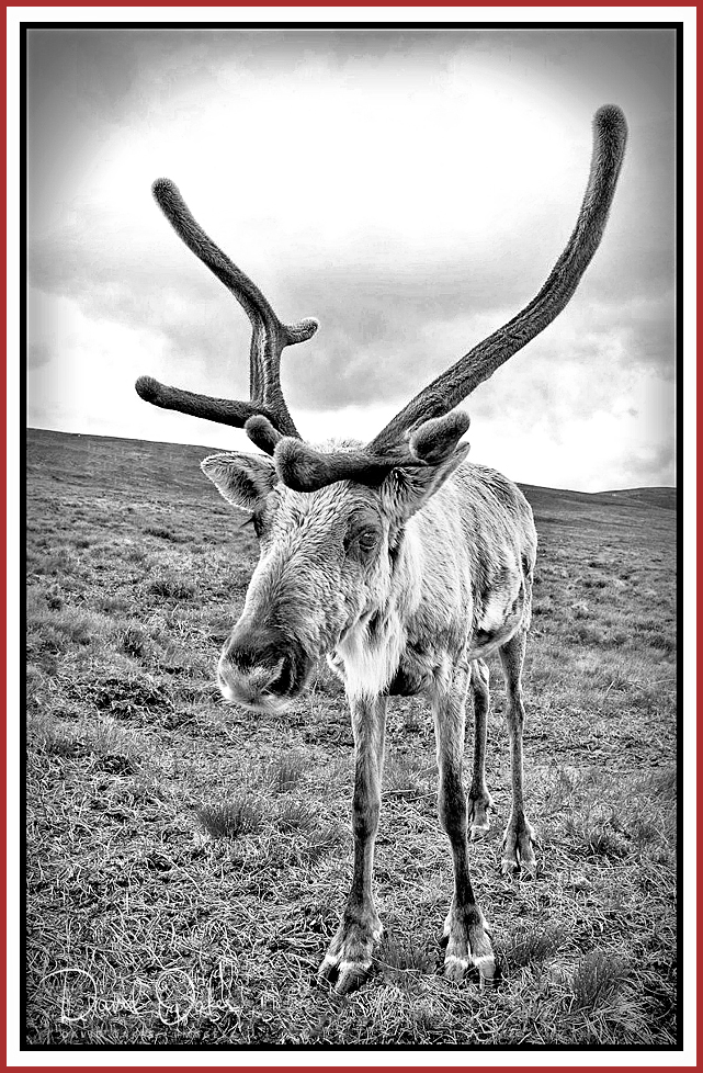 47-Reindeer-on-Airgiod-Meall,-Cairngorms,-Scotland-001_renamed_22355-bbtt