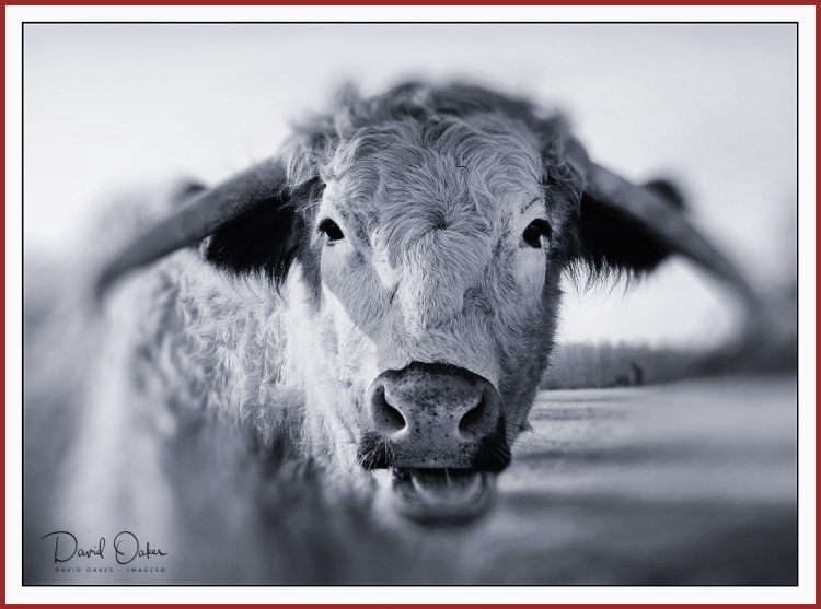 LONG-HORN-COW-Portrait-2