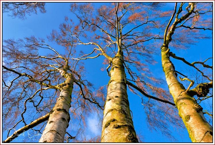 A Birch Morning