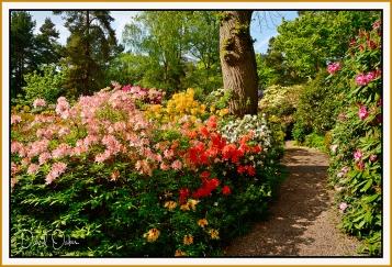 Rhododendron Lea