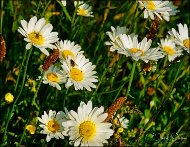 Dog Days Well Daisies Really David Oakes Images