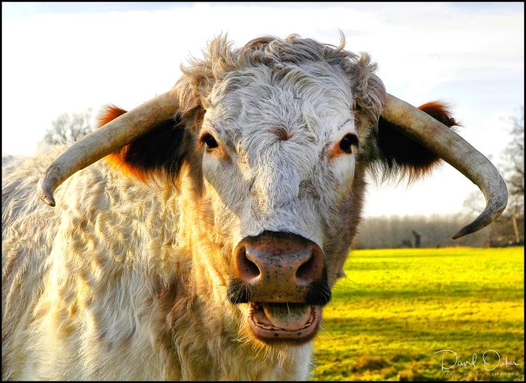 LONG-HORN-COW-Portrait-2