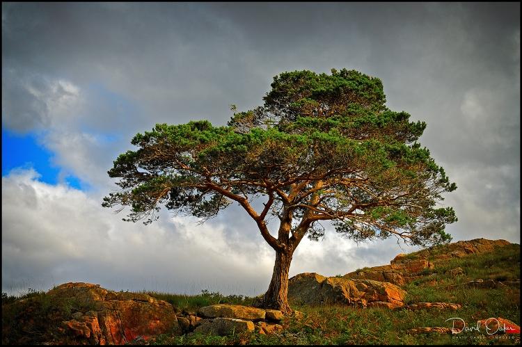 Pine-at-Torridon