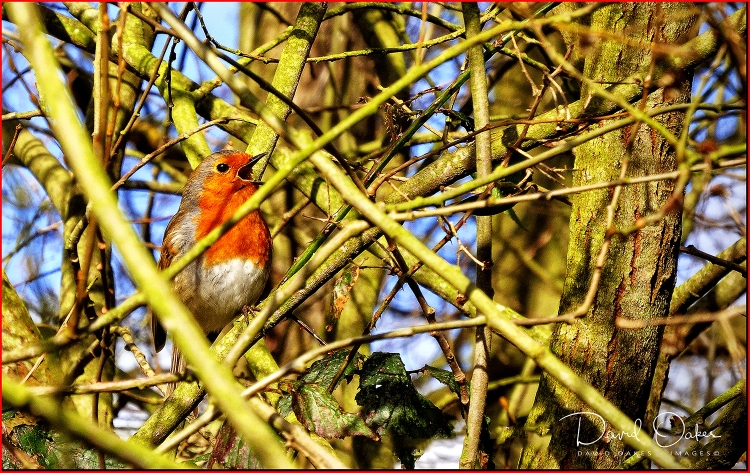 Robin-in-the-Hedge---Copy