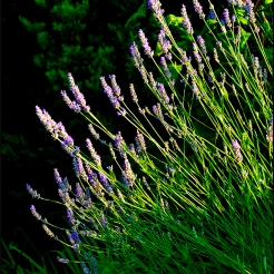 Lavender-in-the-evening-light