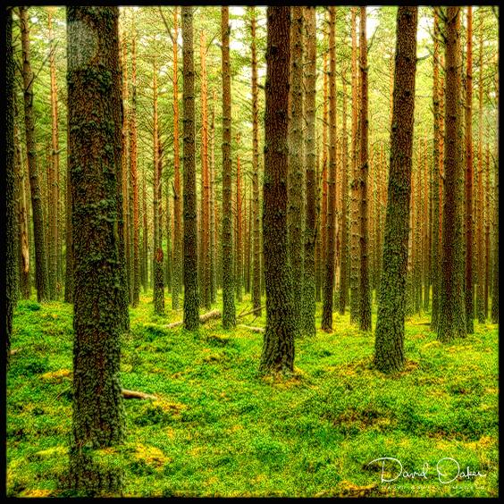Pine-woods-in-the-Rain