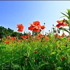 Poppies-q