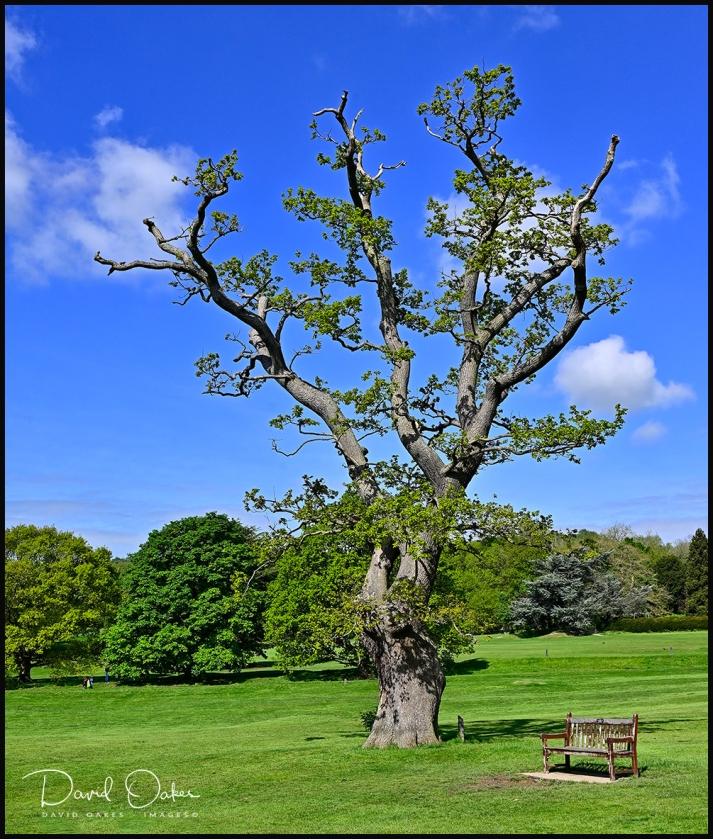 Venerable Oak