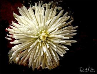 Dahlia White Star - Copy