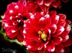 Dahllia Red