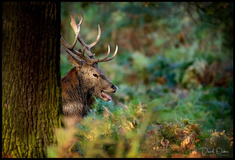 Deer-28